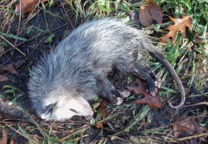 The opossum lay dead in the center of a trail, also on November 16. Cause of death was not evident.