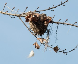 As leaves come off the trees, bird nests are revealed. This oriole nest had a significant content of synthetic fibers, including fishing line from the nearby ponds. The fuzzy white object hanging below the nest is a fishing lure, the hook not quite visible at this angle.