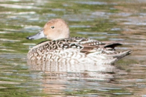 The most unusual stopover duck was a female pintail on the east pond.