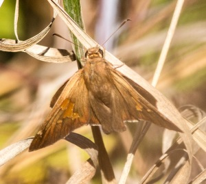 This silver-spotted skipper still was active on November 16.