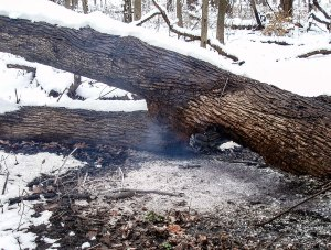 Here is the tree 2.5 weeks after the burn, on December 5. The underside of the fallen stem was burning slowly from west to east, and the top of the stem protected the coal from the snowfall.